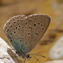 Image of Large blue butterfly