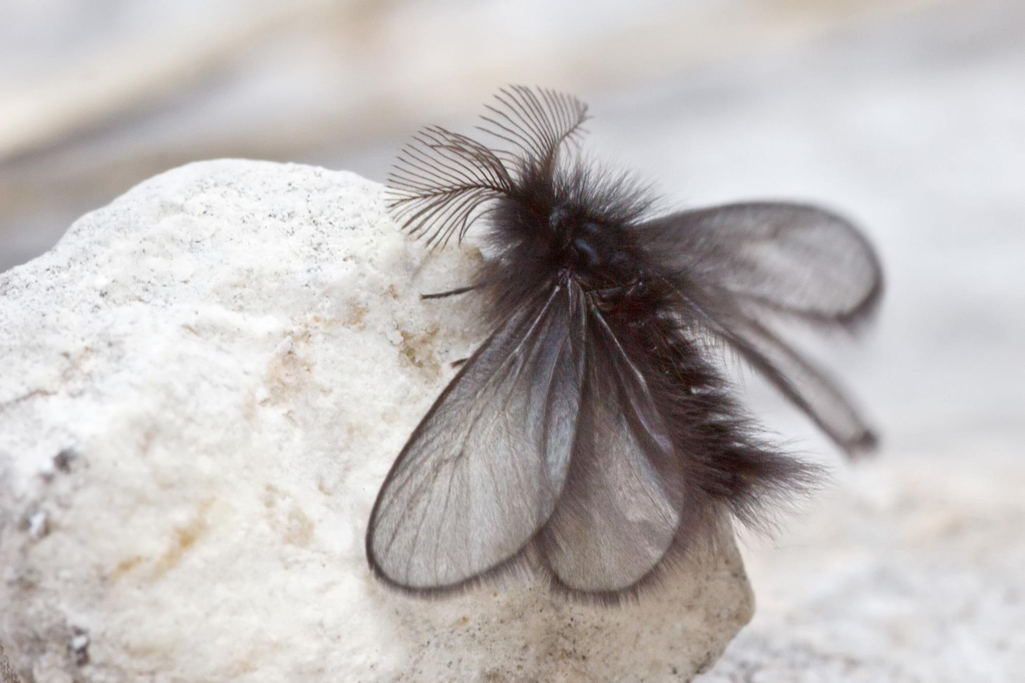 Image of <i>Ptilocephala plumifera</i>