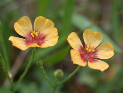 Image of tufted flax