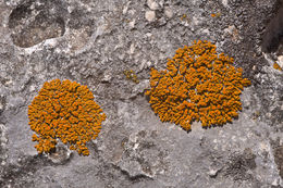 Image of elegant orange wall lichen