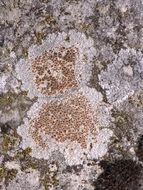 Image of <i>Caloplaca erythrocarpa</i> (Pers.) Zwackh