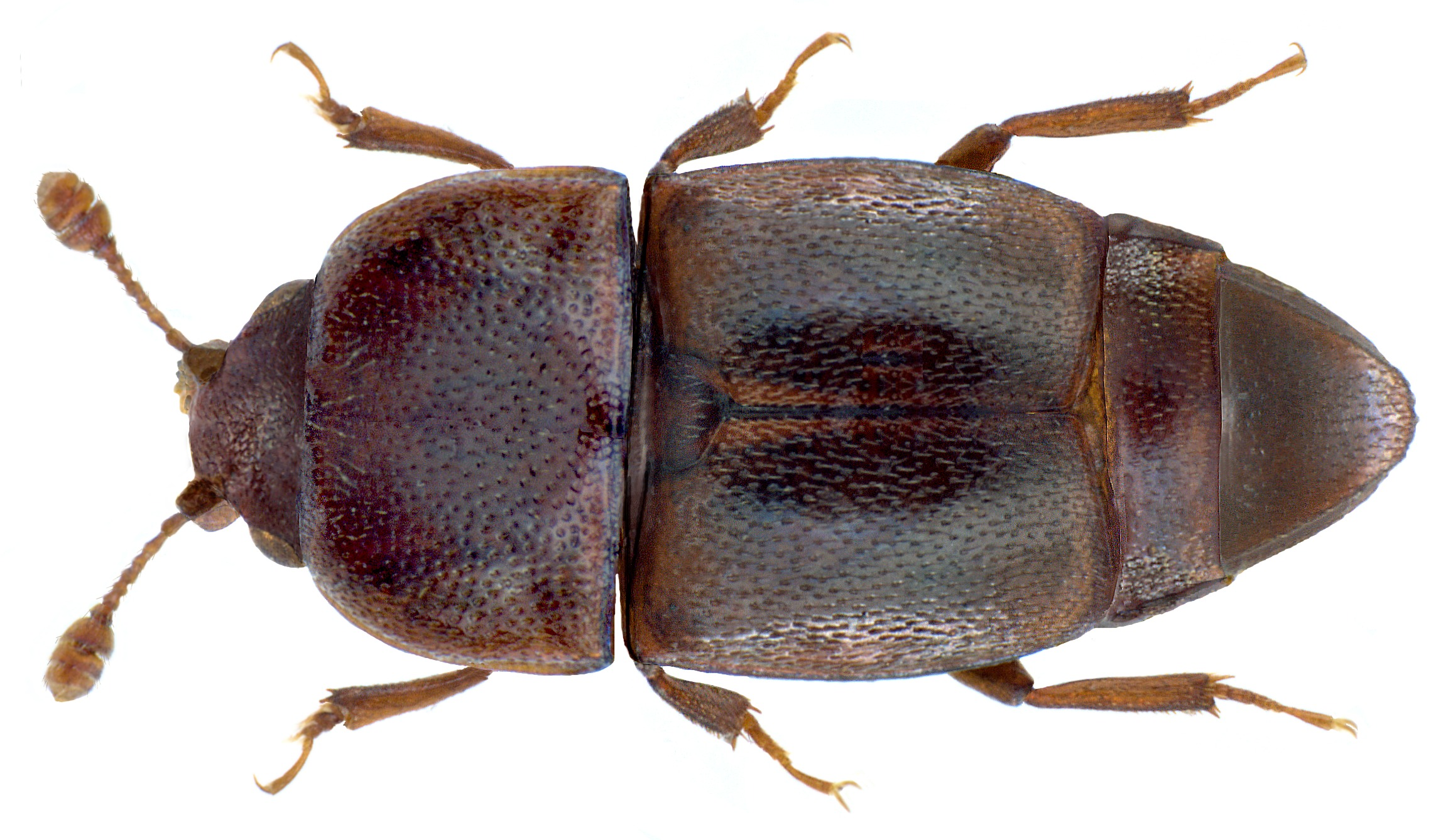 Image of <i>Carpophilus nepos</i> Murray 1864
