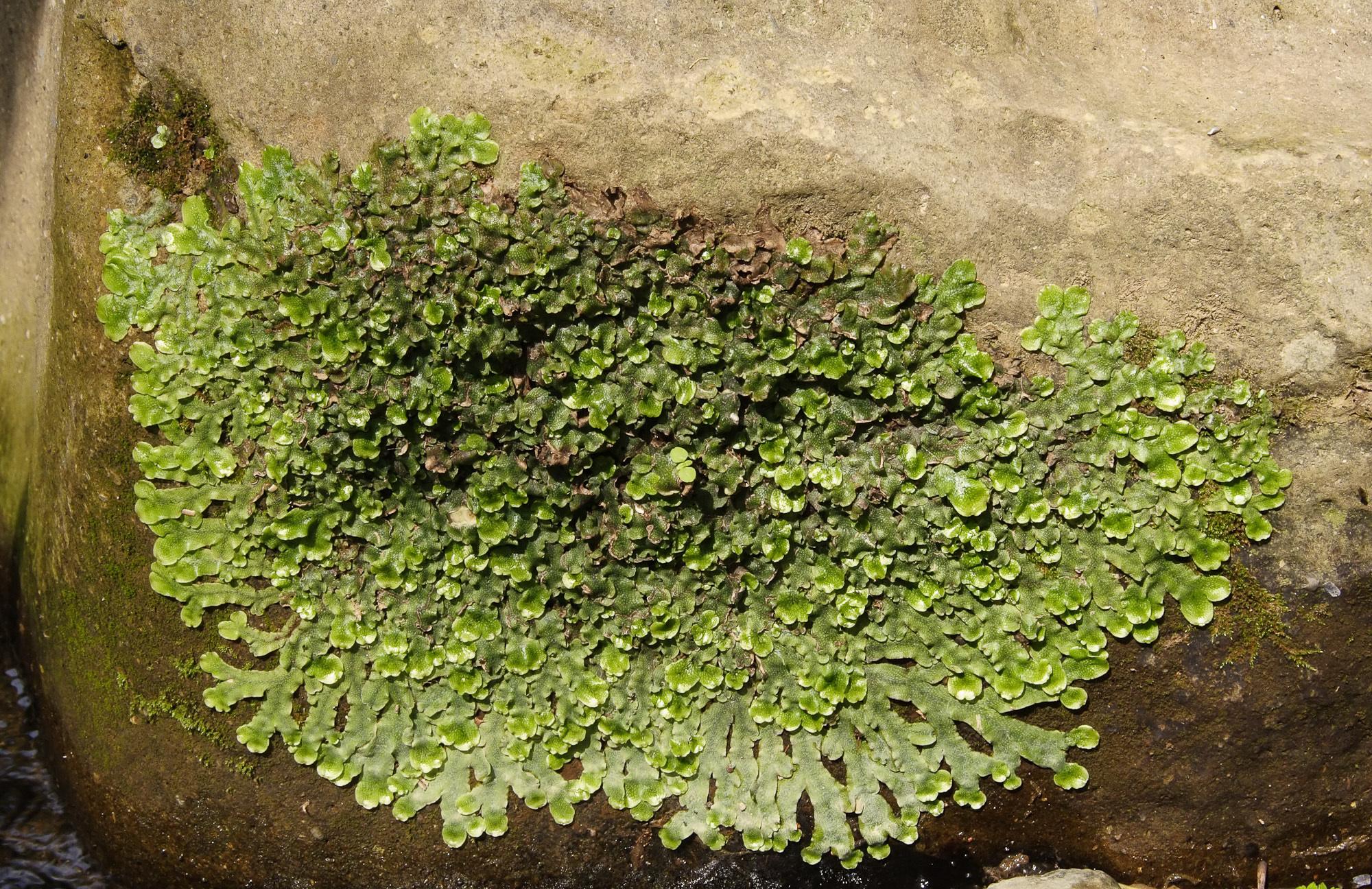 Image of <i>Conocephalum conicum</i> (L.) Dumort.