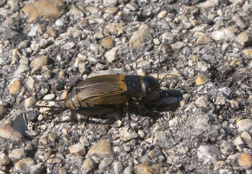 Image of Field cricket