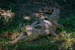 Image of Australian Freshwater Crocodile