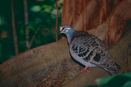 Image of Common Bronzewing