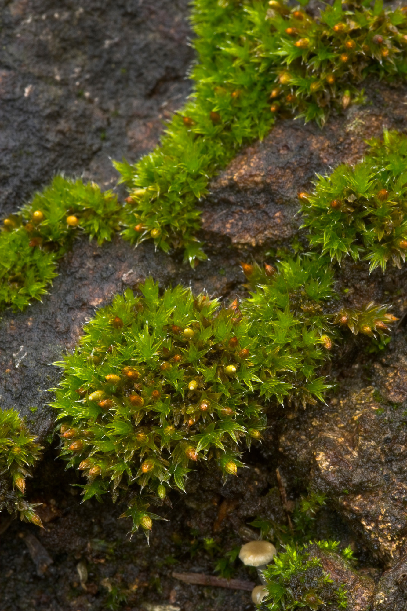 Image of orthotrichum moss