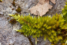 Image of silken homalothecium moss