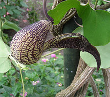 Image of gaping dutchman's pipe