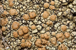 Image of <i>Lecanora muralis</i>