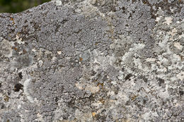 Image of <i>Placocarpus schaereri</i> (Fr.) Breuss