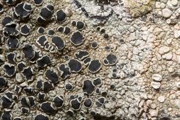 Image of <i>Tephromela atra</i>
