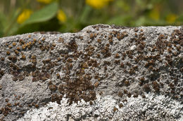 Image of fishscale lichen