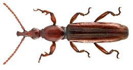 Image of <i><i>Cerobates</i></i> (Cerobates) <i>tristriatus</i> (Lund 1800)