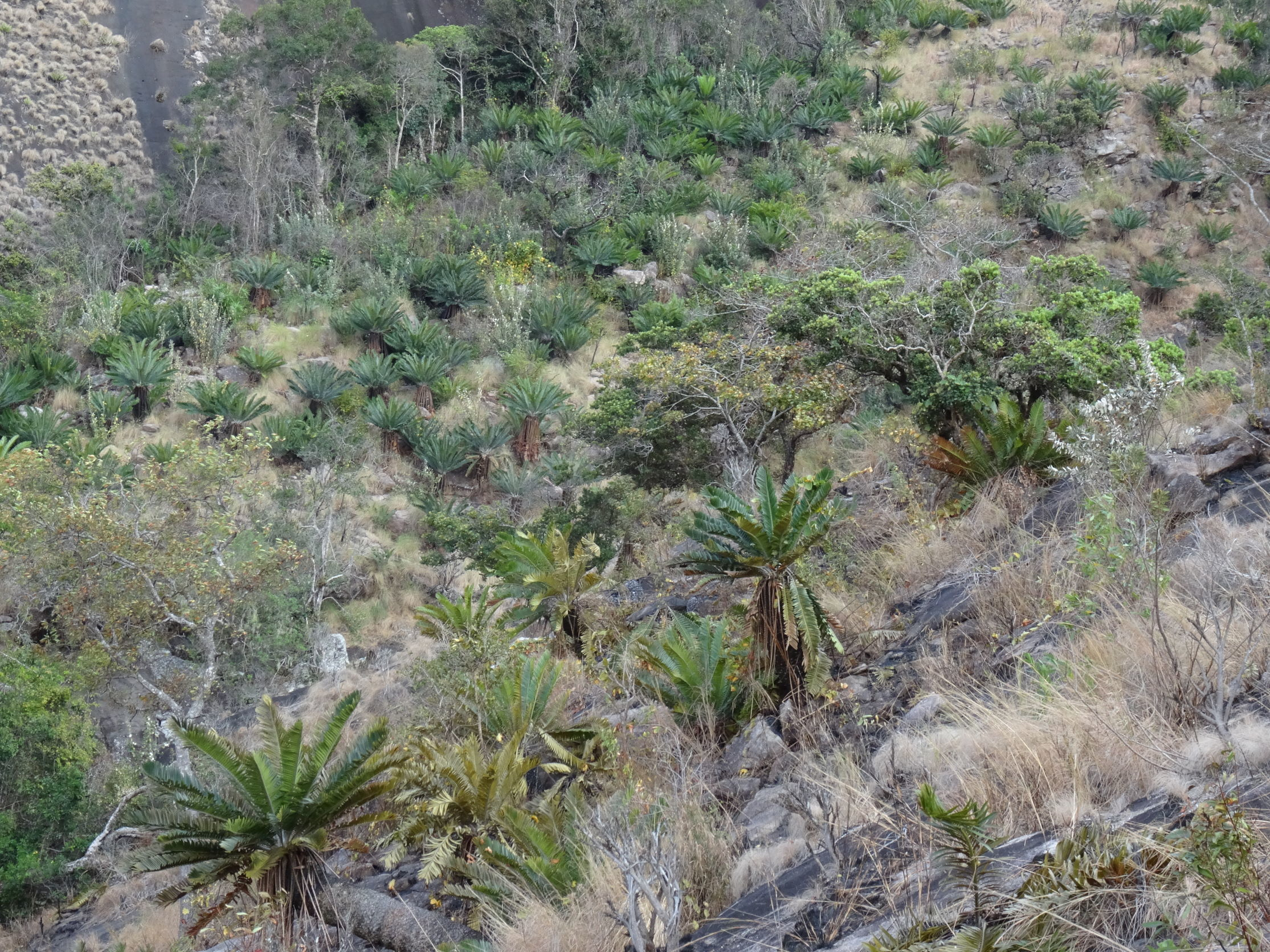 Image of Turner's Cycad