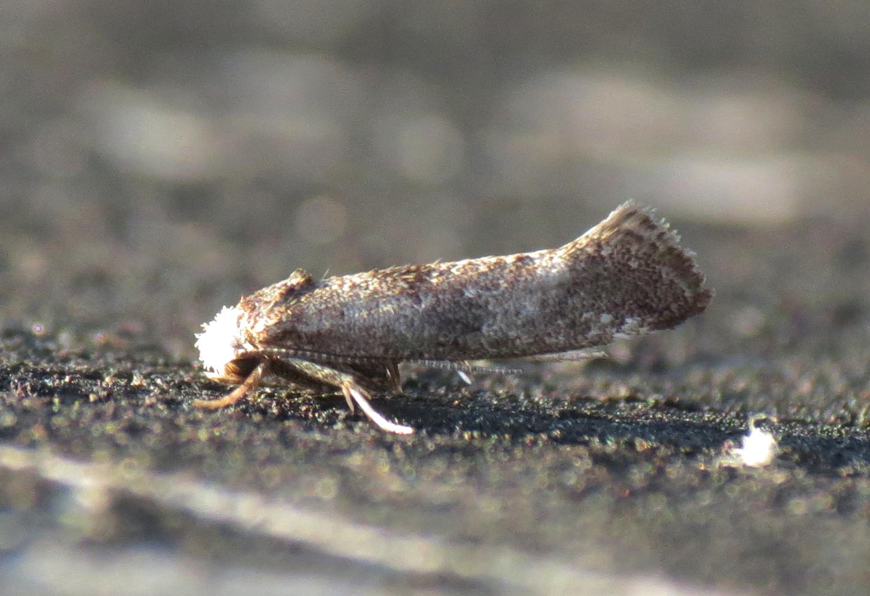 Image of <i>Paraswammerdamia nebulella</i> (Goeze 1783) Goeze 1783