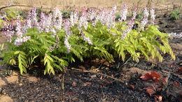 Image of <i>Cryptosepalum maraviense</i> Oliv.