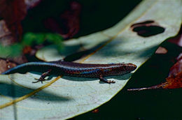 Image of Rainforest Sunskink