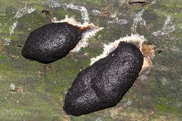 Image of <i>Reticularia lycoperdon</i>