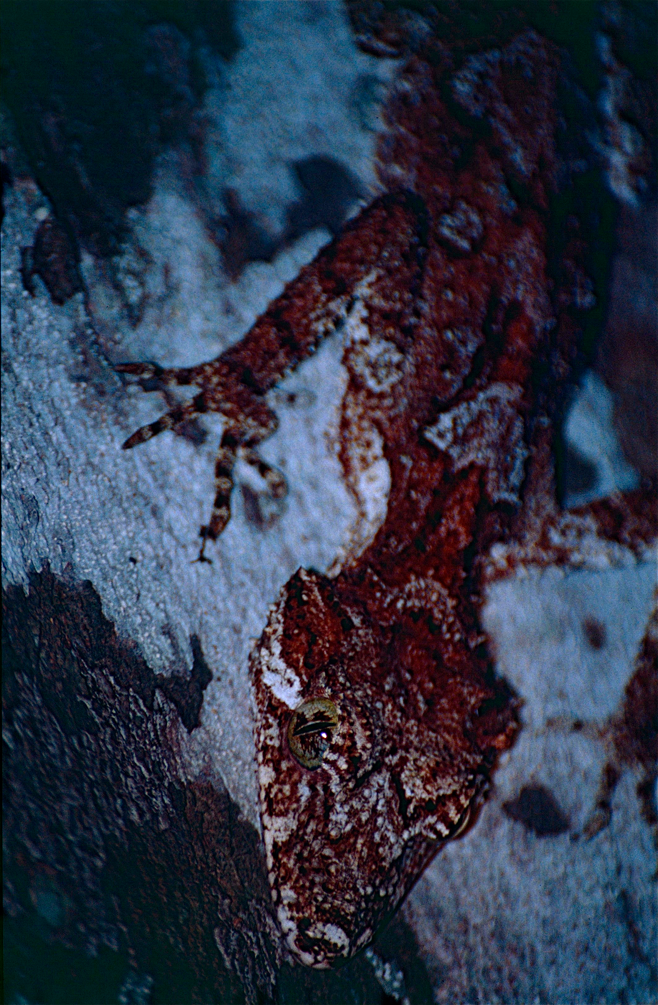 Image of Leaf-tailed Gecko