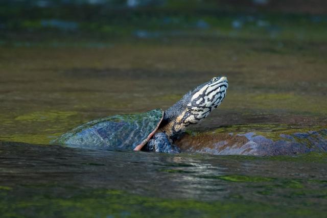 Image of Geoffroy's Sideneck Turtle