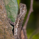 Image of Mophead iguana