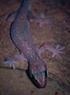 Image of Augenfleckengecko