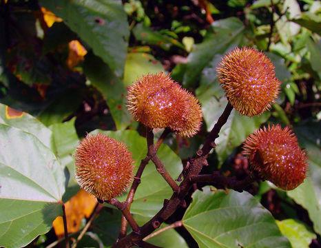 Image of <i>Bixa urucurana</i> Willd.