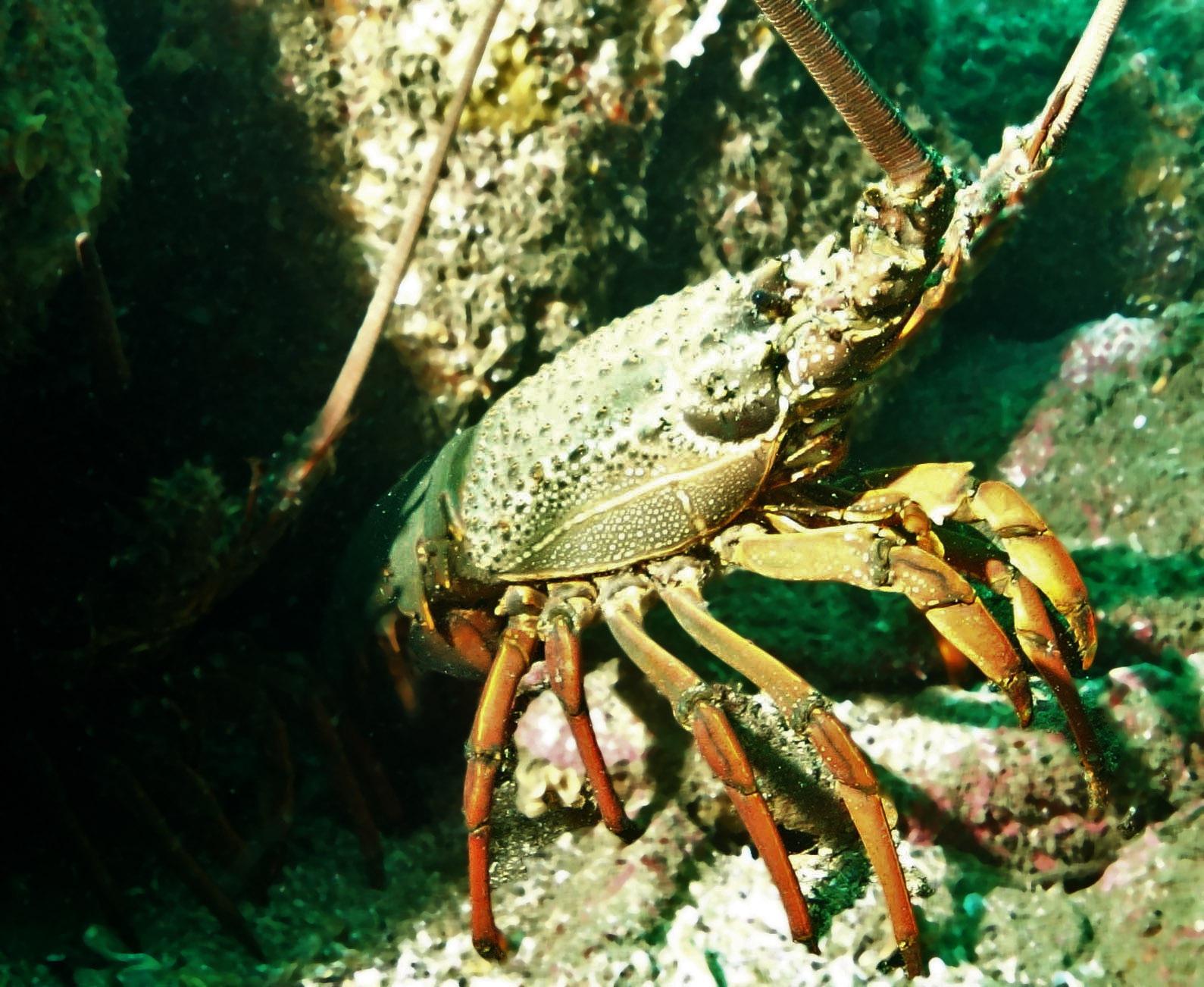 Image of green rock lobster