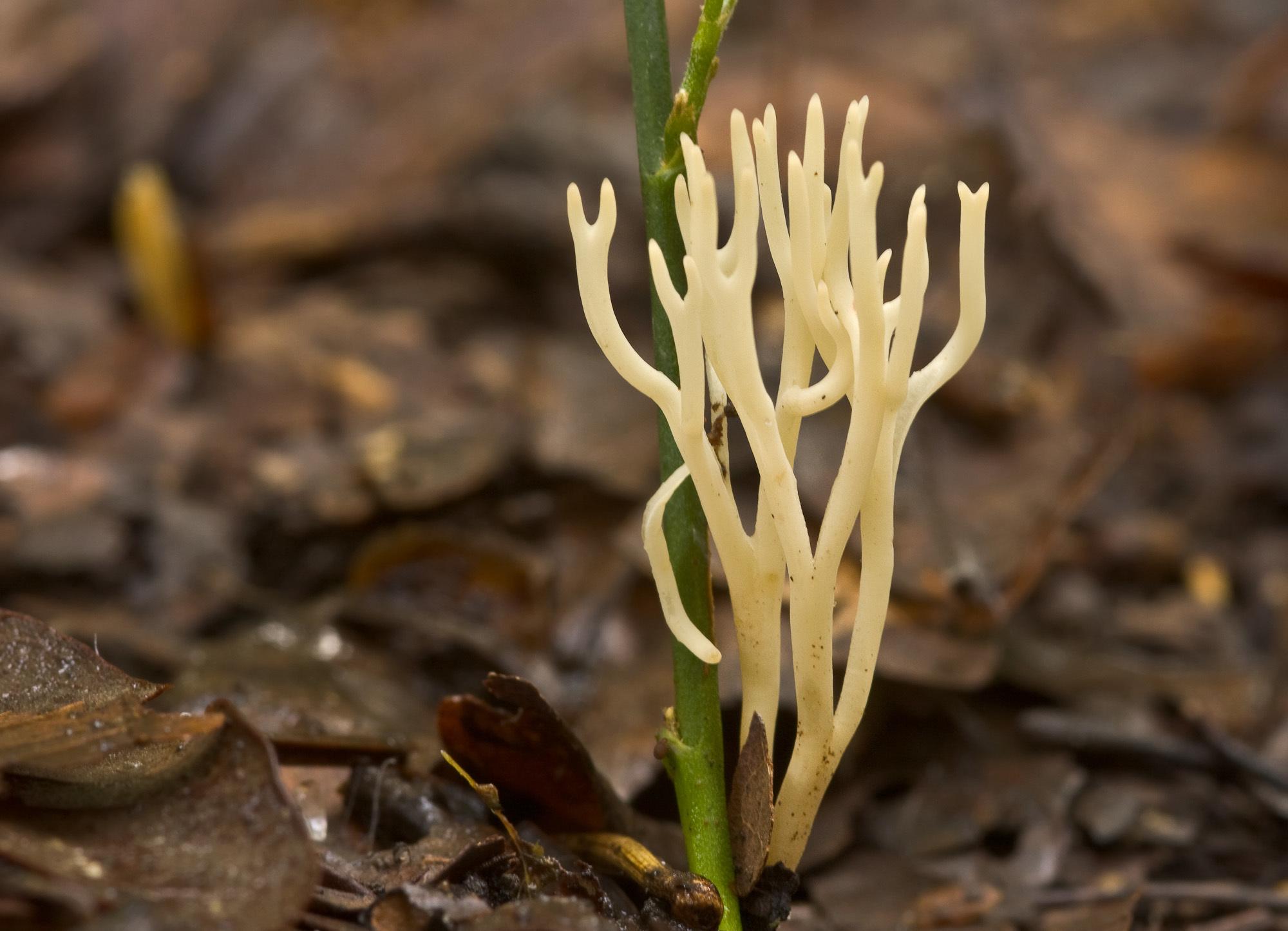 Image of <i>Ramariopsis subtilis</i> (Pers.) R. H. Petersen 1978