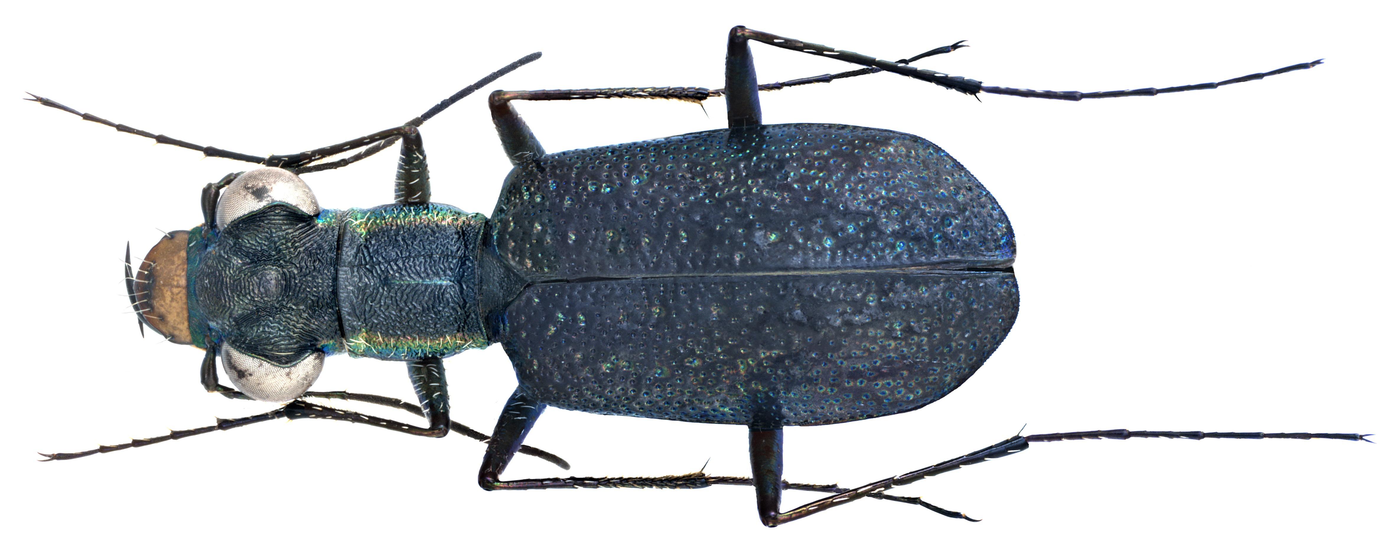 Image of <i>Cylindera foveolata</i>