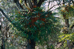 Image of elkhorn fern