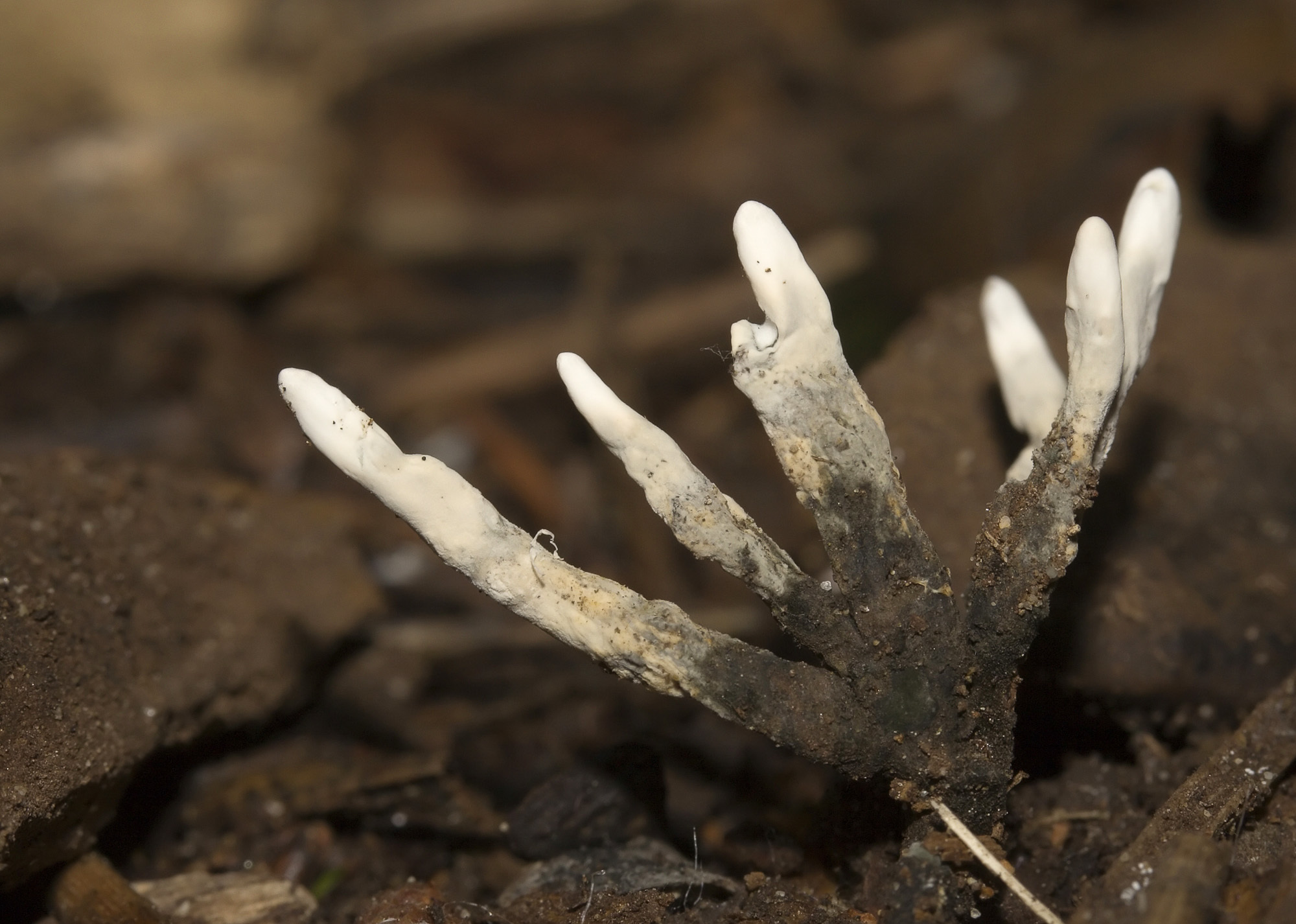 Image of Candle-snuff Fungus