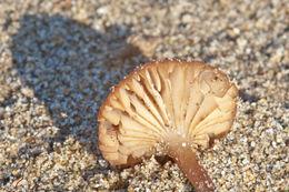 Image of <i>Xerula mediterranea</i>