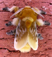Image of Southern Flannel Moth