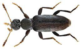 Image of <i>Macratria pumilio</i>