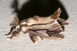 Image of <i>Eumeta variegata</i> Snellen 1879