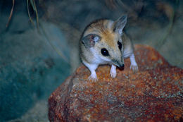 Image of Fat-tailed Dunnart