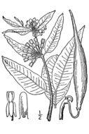 Image of green comet milkweed