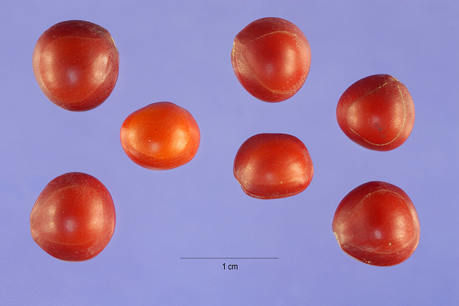 Image of red beadtree