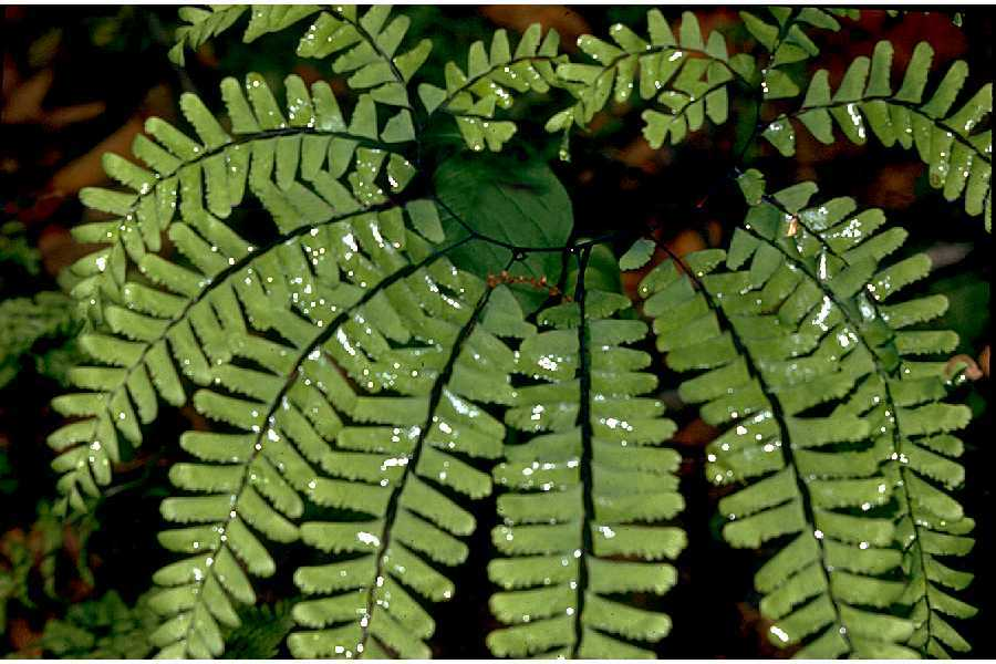 Image of Northern Maidenhair Fern
