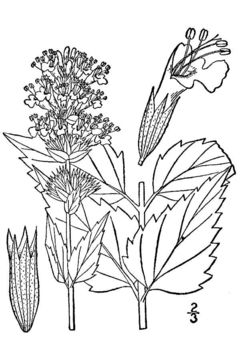 Image of blue giant hyssop