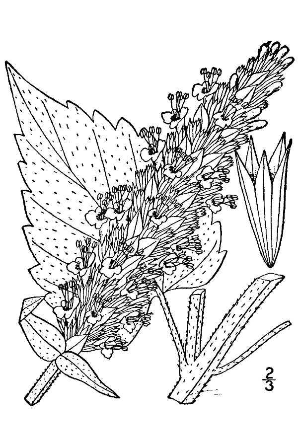 Image of purple giant hyssop