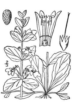 Image of blue bugle