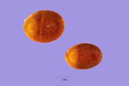 Image of Chinese albizia