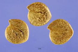 Image of Thurber's desert honeysuckle
