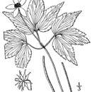 Image of mountain thimbleweed