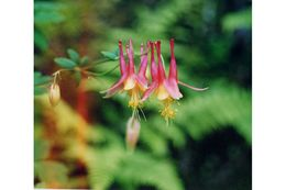 Image of red columbine