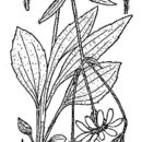 Image of longleaf arnica