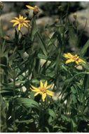 Image of spearleaf arnica